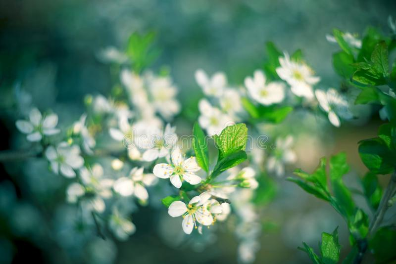 Beautiful floral spring abstract background. Branches of blossoming apricot macro with soft focus nature background royalty free stock photos