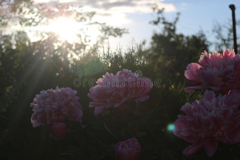 Beautiful flovers at summer evening royalty free stock photo
