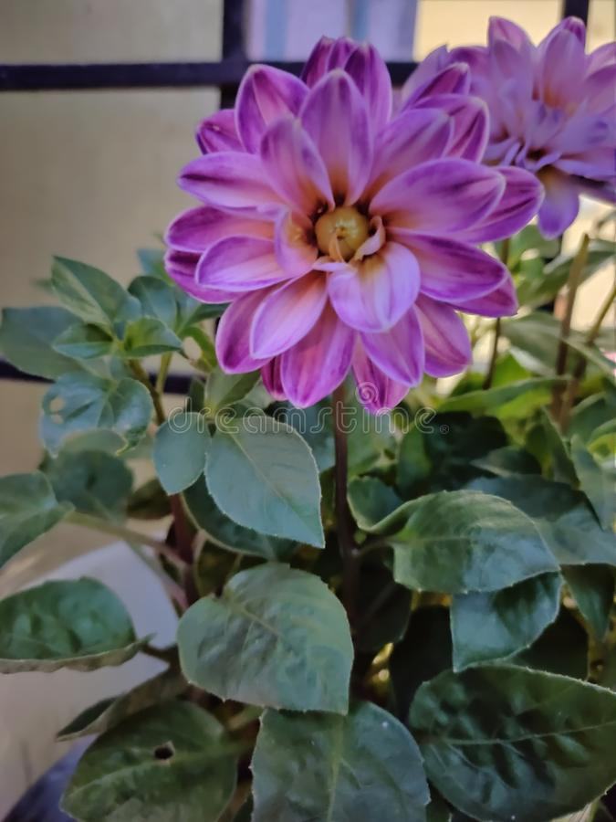 Beautiful Flower Attractive look GoodMorning petals colour royalty free stock images