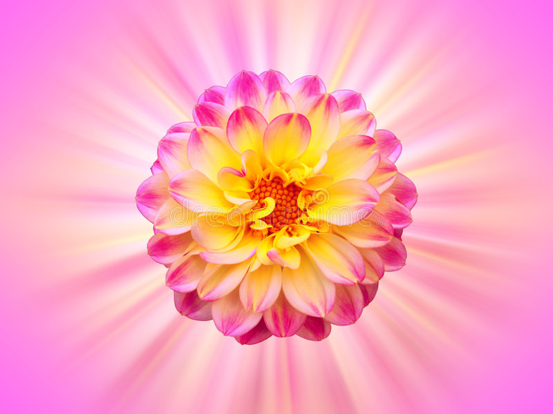Beautiful Flower Background. A bright illustrated background with a beautiful design of a flower at the center in yellow and pink colors stock illustration