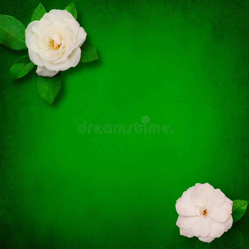 Square Beautiful Flower background with white roses. Beautiful Flower background with copy space for text. Decor of white roses flowers on grunge green royalty free stock images
