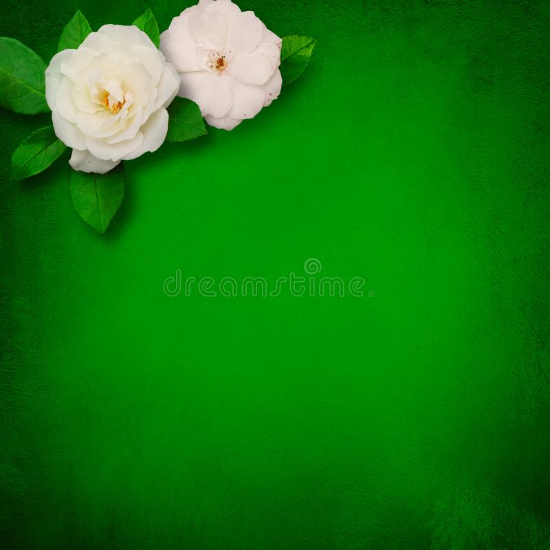 Square Beautiful Flower Template with white roses. Beautiful Flower background with copy space for text. Decor of white roses flowers on grunge green background royalty free stock photo