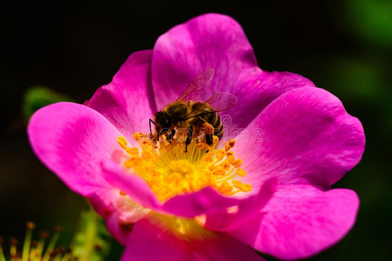 Beautiful flower with a bee. Collecting nectar for honey. Hardworking bee. Nature and animal, insect. stock images