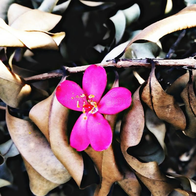 A beautiful flower on the brown dry leaf. stock image