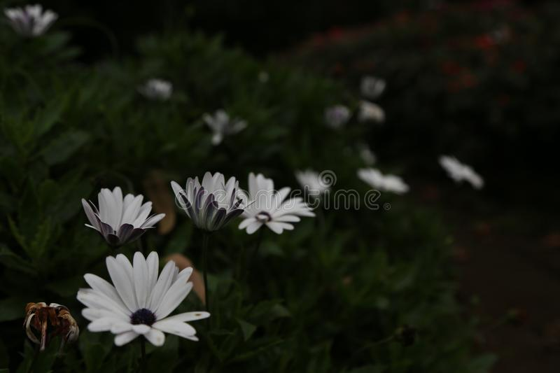 White Flower Bush. This is a beautiful flower bush which I captured In a Park. This is a photo captured on under exposure to enchant the photo stock image