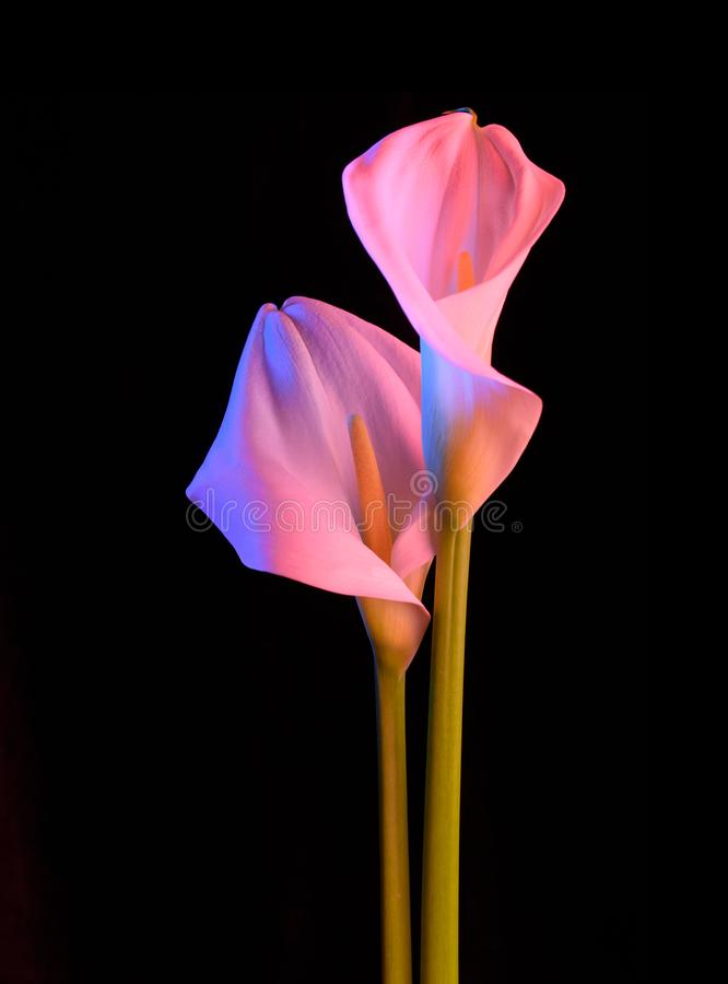 Beautiful flower calla with beautiful neon light on a black background. Two beautiful flowers. royalty free stock images
