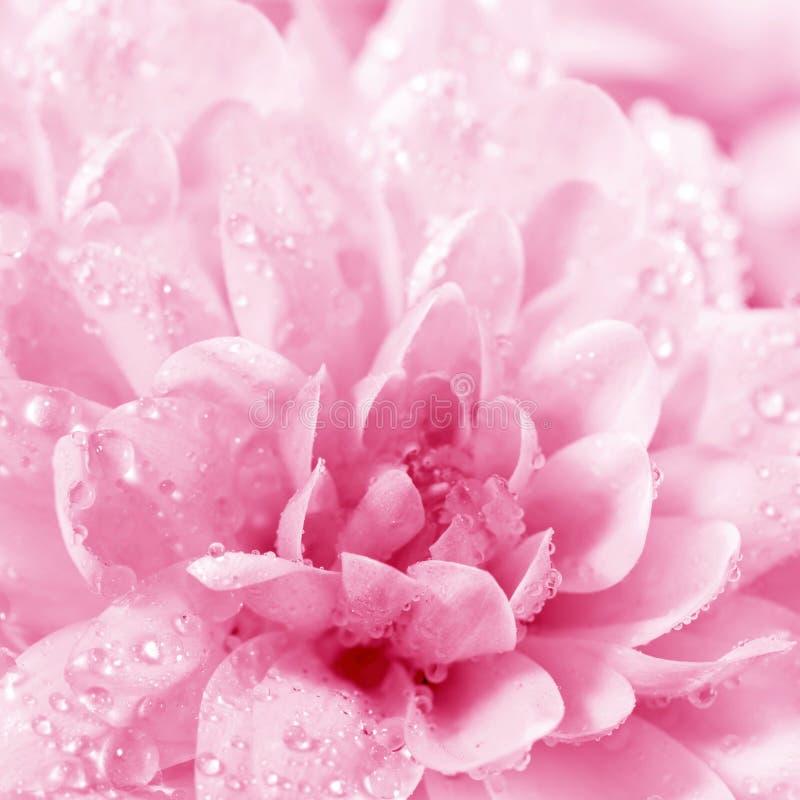 Beautiful flower Chrysanthemum royalty free stock image