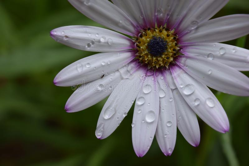 Beautiful flower with drops of water after rain royalty free stock photography