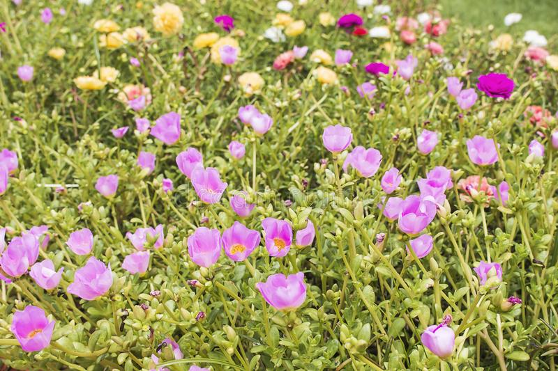 Beautiful flower field, sweet flower color, beautiful background in sunny days. Common Purslane, Verdolaga, Pigweed, Little royalty free stock image