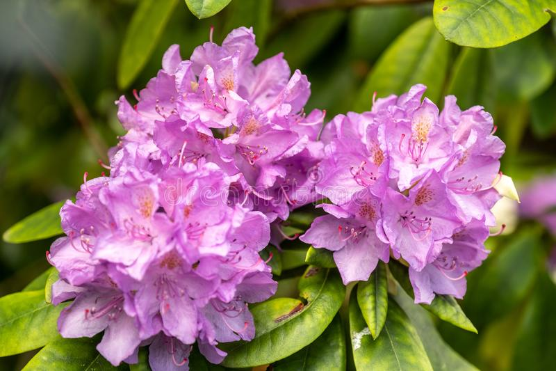 Beautiful flower on a flowering bush - rhododendron hybrid cataubienes grandiflorum royalty free stock images