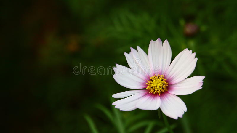 Beautiful flower in the garden stock photography