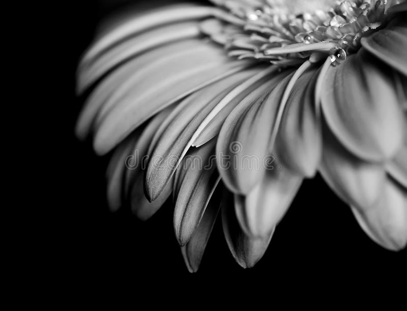 Beautiful flower of Gerbera Daisy in black and white royalty free stock photography