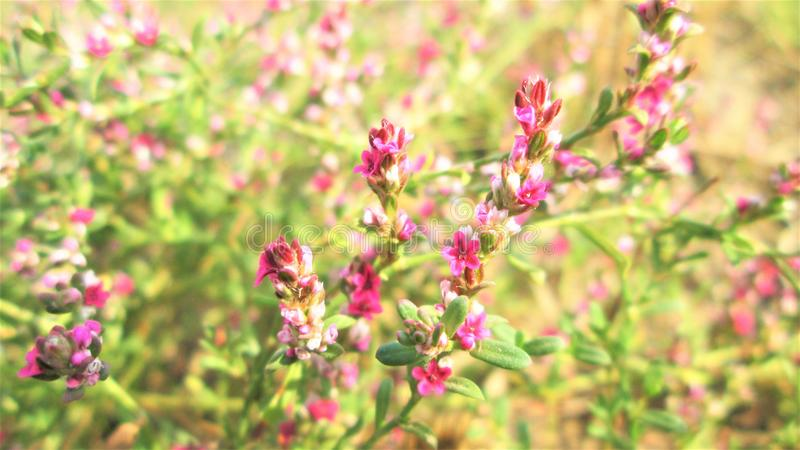 Beautiful small flowers of pink color of wild grass. A Macro Photograph of Beautiful small flowers of pink color of wild grass stock photos