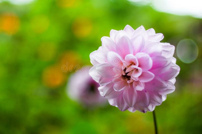 Beautiful and solitaire flower stock photo