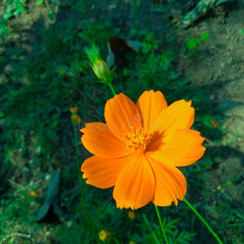 Beautiful flower with green bud and orange petals color royalty free stock images