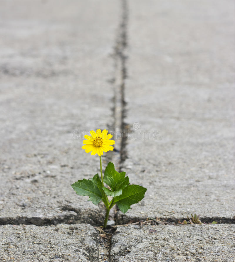 Beautiful flower growing on crack street royalty free stock photography
