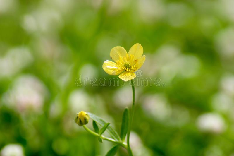 The beautiful flower in the garden. This beautiful flower is growing  in a garden . The nice colours like green and yellow royalty free stock photos