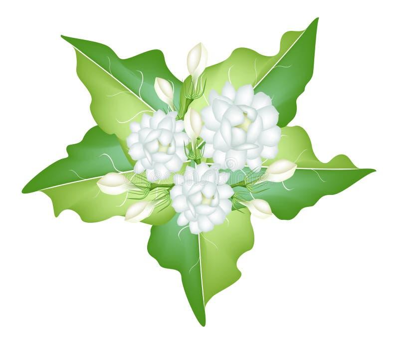 An Illustration of Jasmine Flowers on White Backgr stock illustration