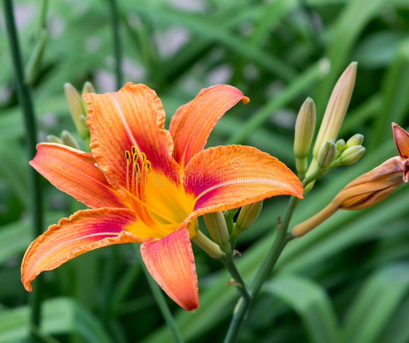 Beautiful flower lily royalty free stock image
