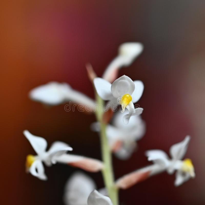 Beautiful flower. Macro shot of nature. Jewel Orchid - Ludisia discolor royalty free stock photos