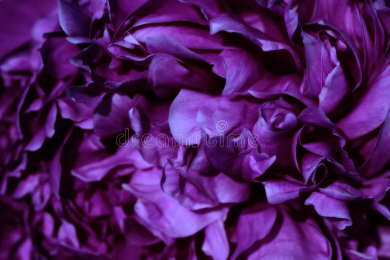 Beautiful Flower. Macro of violet flower as background