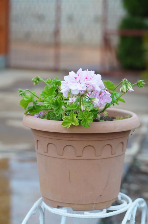 Beautiful flower Madagascar royalty free stock photography