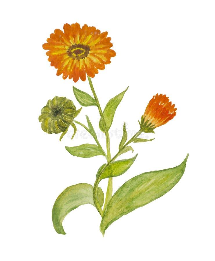 Stylized watercolor orange Calendula marigold stock image