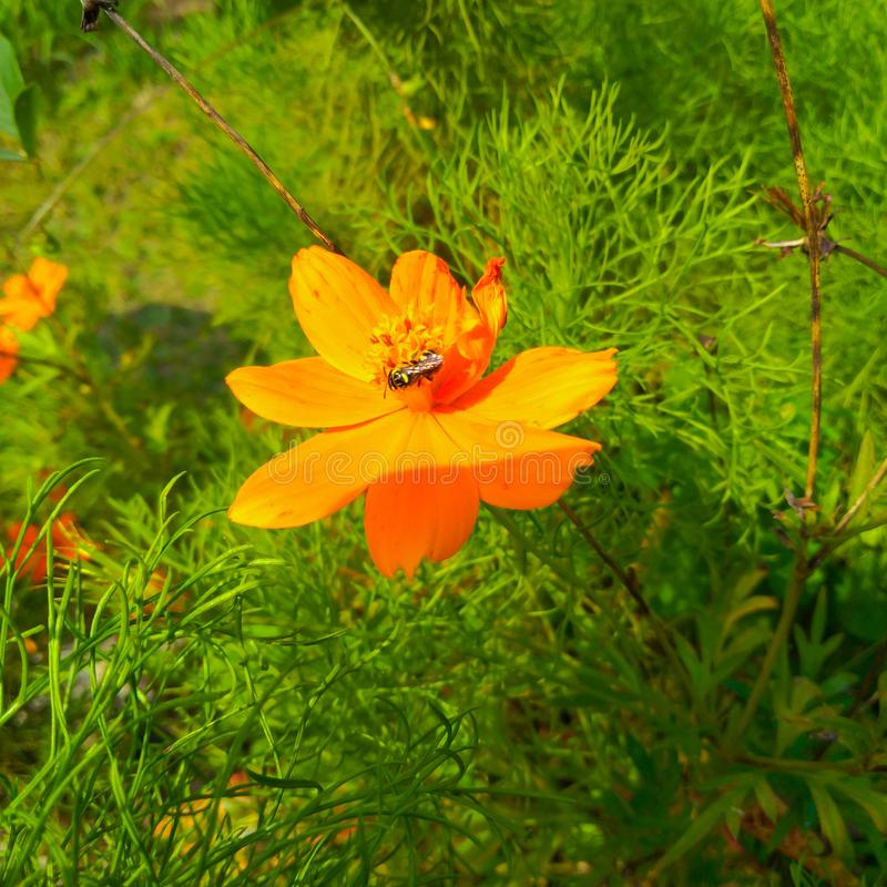Beautiful flower with orange petals and a bee royalty free stock photography