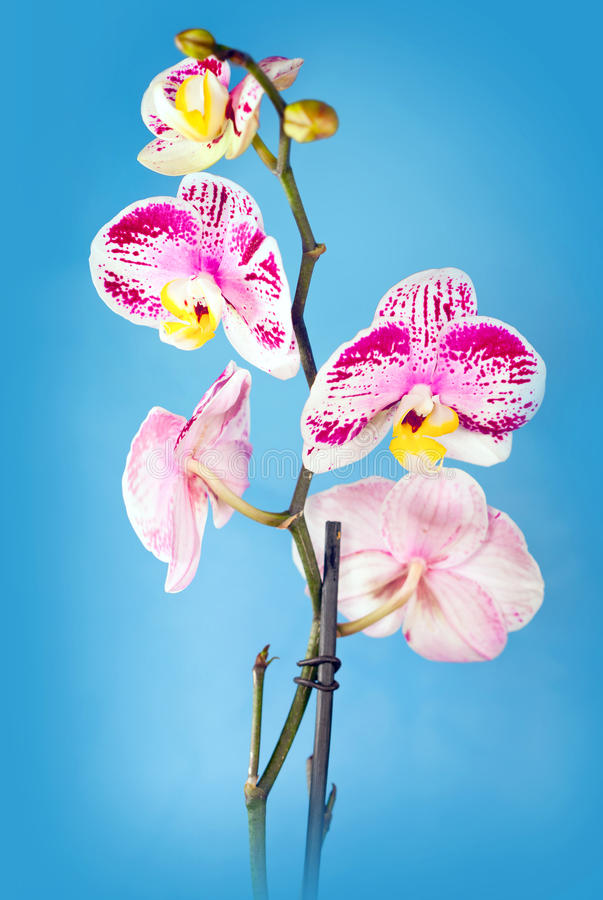 Beautiful flower Orchid royalty free stock photography