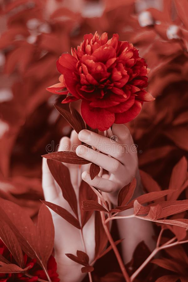 Beautiful flower peonies in female hands. Bunch of Living Coral peonies. royalty free stock photo