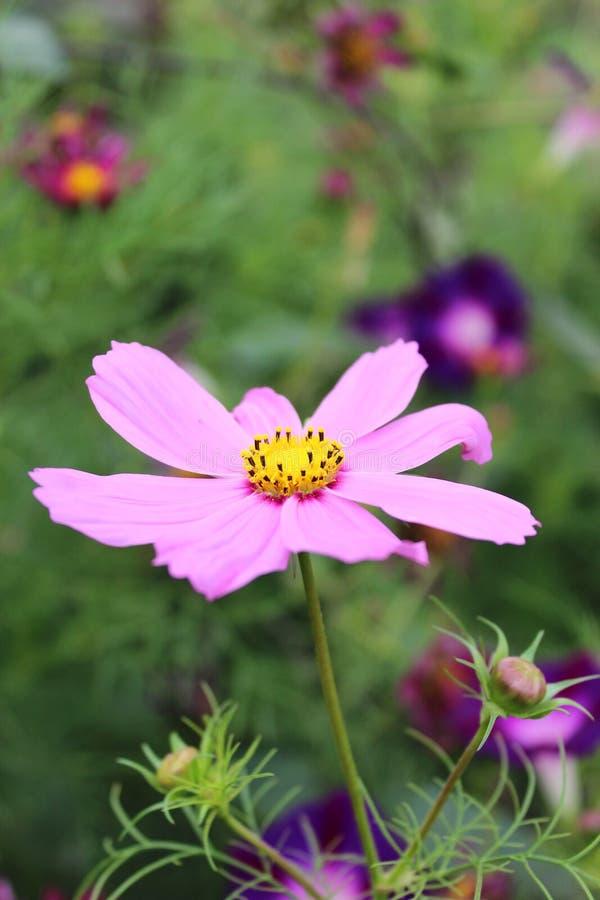 Beautiful flower of pink Dahlia stock photography