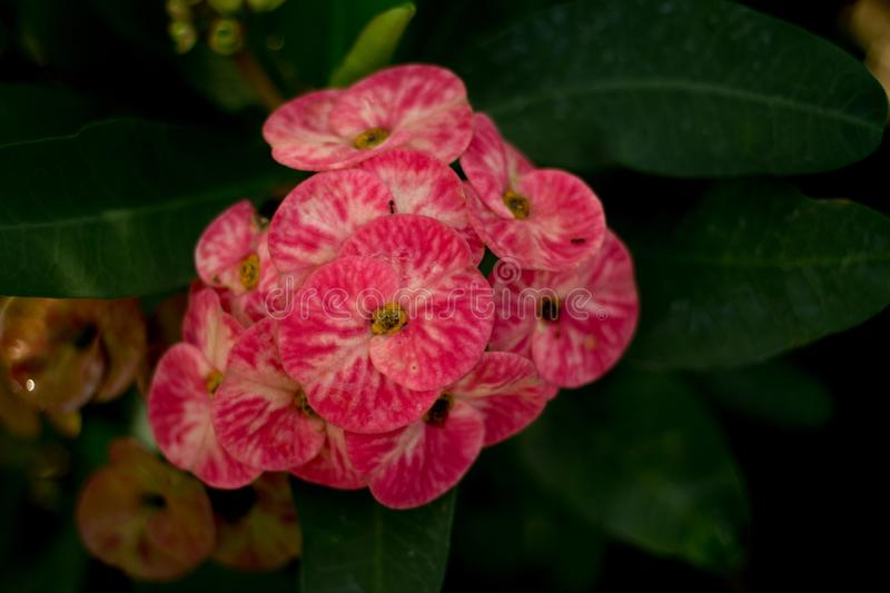 Beautiful flower, Poi Sian flowers in garden on blur background.  stock photo