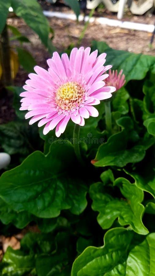Beautiful flower purple pink greenleaves. Beautiful flower shot from a garden stock images