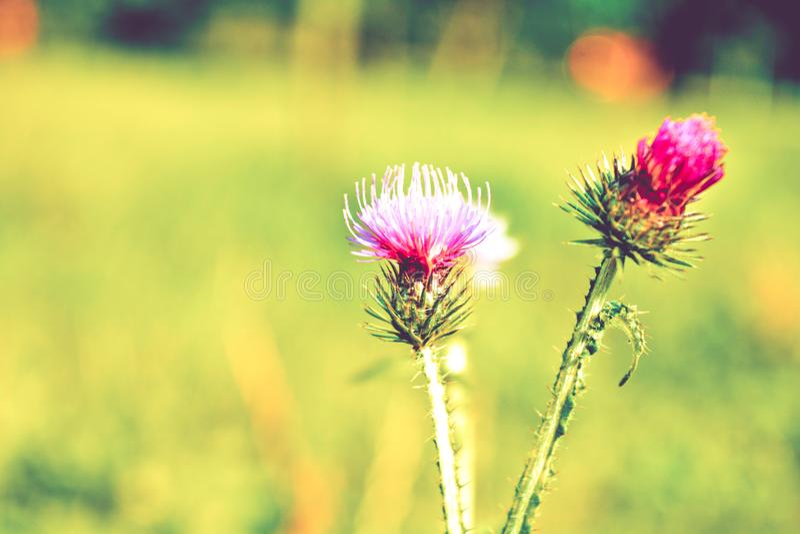 Beautiful flower of purple thistle or burdock. Beautiful flower of purple thistle. Close-up pink flowers of burdock thorny flower. Flowering thistle or milk royalty free stock photos