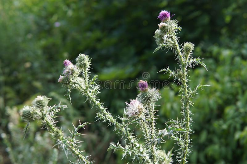 Beautiful flower of purple thistle. Pink burdock flowers. Close-up stock images