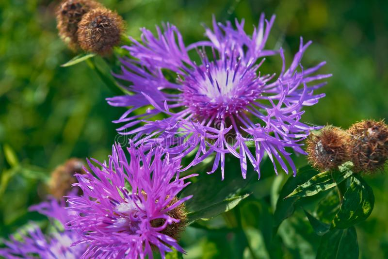 Beautiful flower of purple thistle. Pink flowers of burdock royalty free stock images