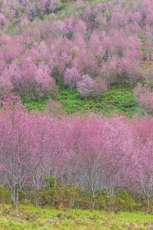 Queen tiger Sakura , Cherry blossom stock image