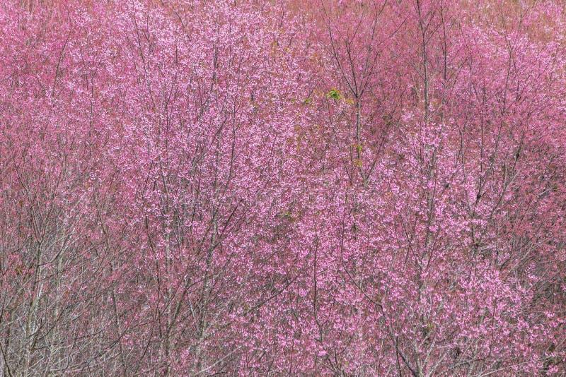 Queen tiger Sakura , Cherry blossom royalty free stock photo