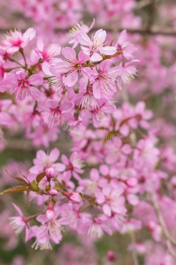 Queen tiger Sakura , Cherry blossom stock image