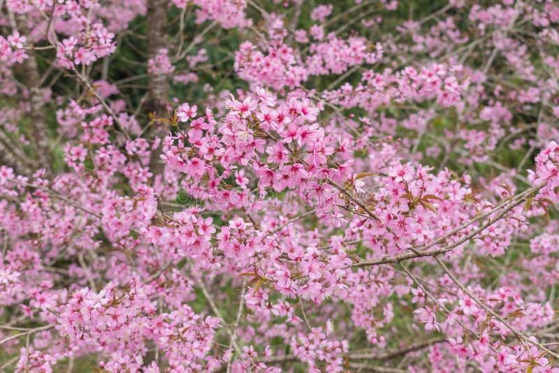 Queen tiger Sakura , Cherry blossom stock photos