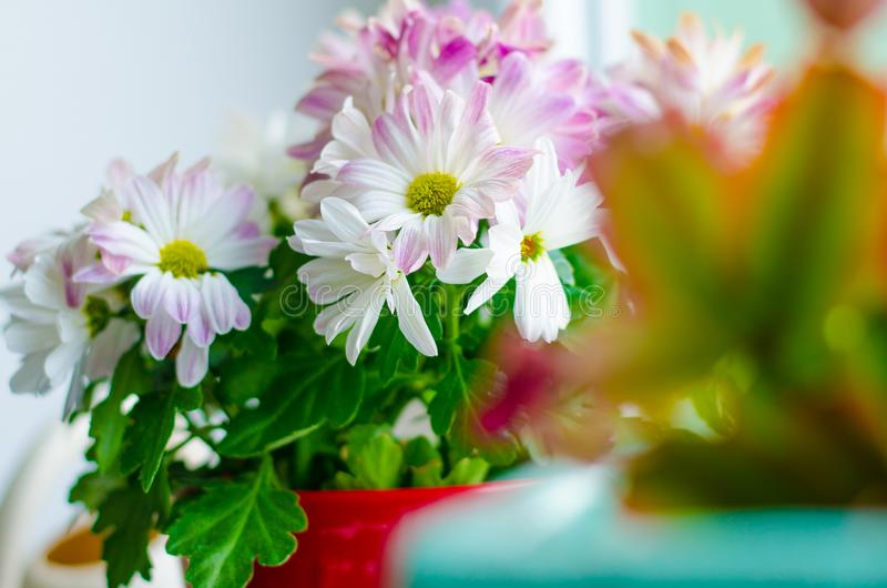 A beautiful flower in a pot on a window in the house. Detail of chrysanthemum flowers. stock image