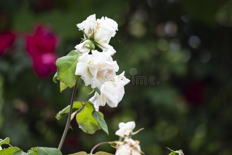 Beautiful flower rose blossom in nature garden with and green leaves, blur background. Detail of white roses stock photo