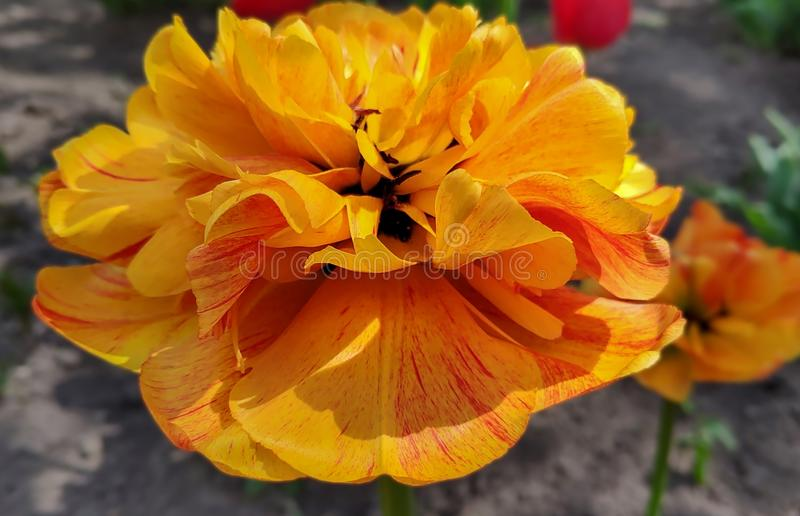 Beautiful flower spring-blooming orange pion-shaped tulip stock images