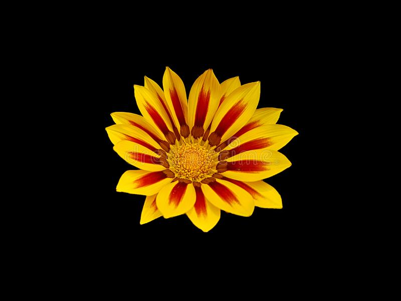 Beautiful flower of two colors, red wine and intense yellow. royalty free stock images