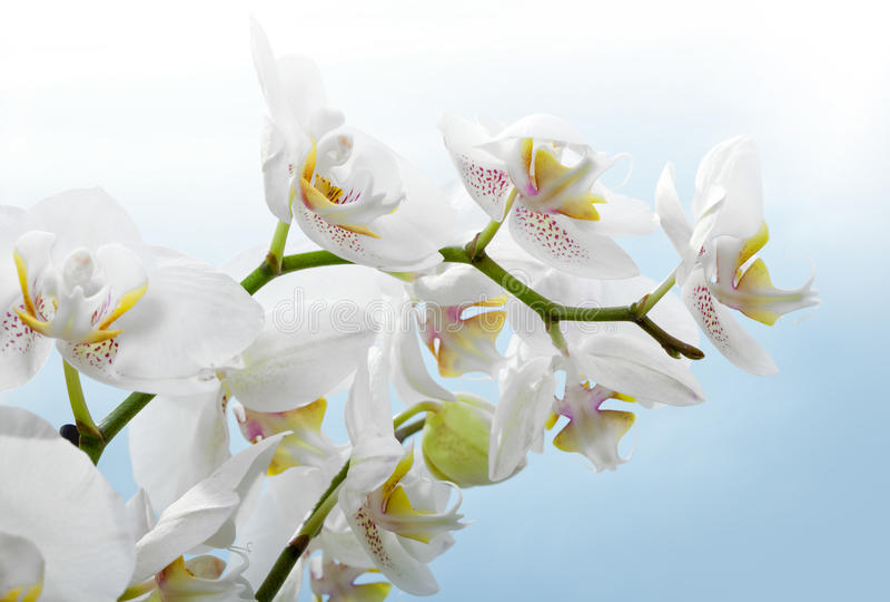 Beautiful flower white Orchid, phalaenopsis stock images