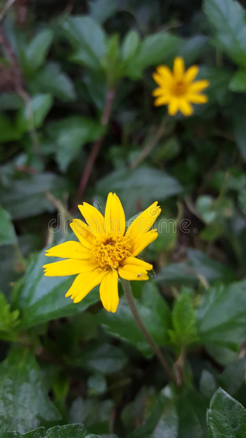 Beautiful flower. Yellow flower in the garden stock photo