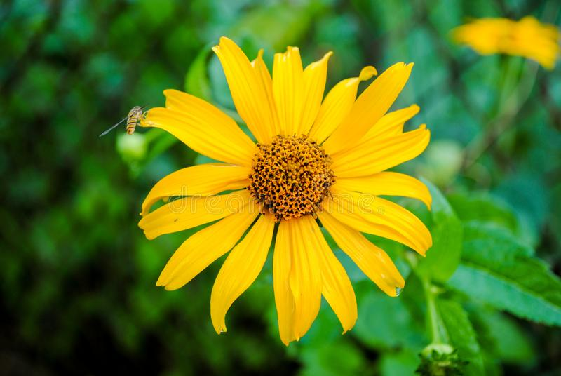 Yellow gazania in the garden with a wasp. Beautiful flower of yellow gazania with a wasp. Photo is suitable for stories about flowers and plants stock images