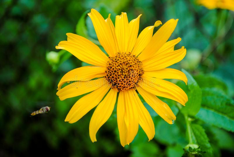 Yellow gazania in the garden with a wasp. Beautiful flower of yellow gazania with a wasp. Photo is suitable for stories about flowers and plants royalty free stock photography
