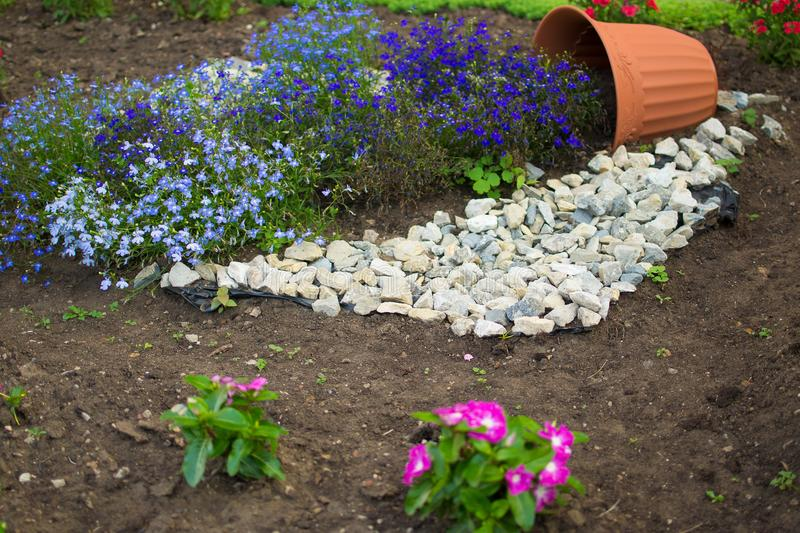 Beautiful flowerbed with flowers blue lithodora diffusa blooms. stock image