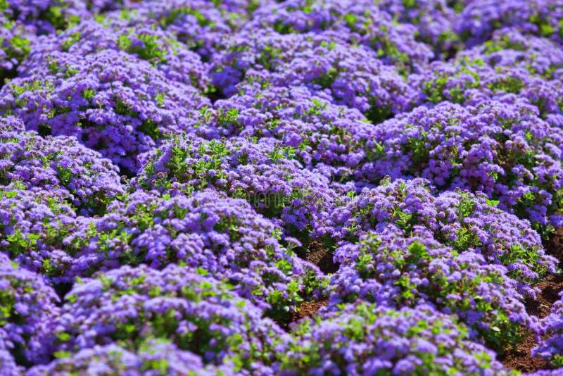 Beautiful flowerbed with purple flowers. Horizontal shot royalty free stock photo